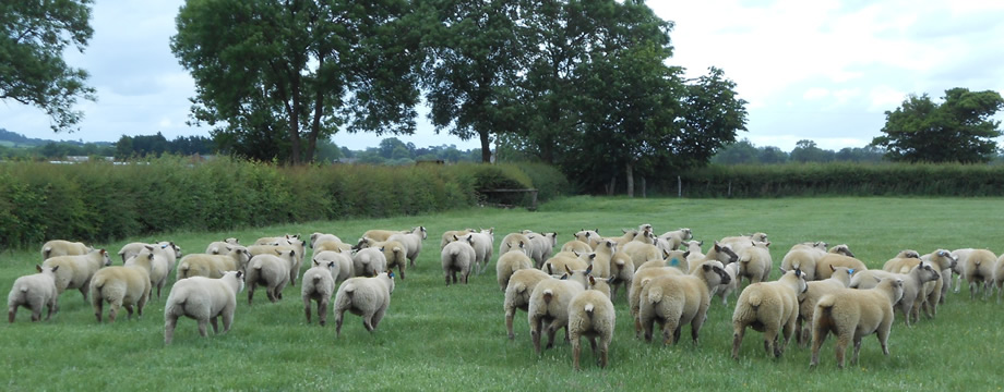 vendeen sheep grazing